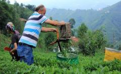 Yaş Çay Destekleme Bedelleri Hesaplara gönderildi