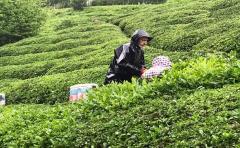 Çay Üreticileri Bayramı Çay Toplayarak Geçiriyor